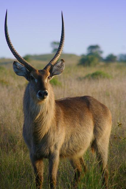 Free impala aepyceros melampus african antelope buck