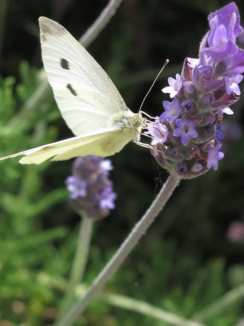 Free butterfly lavender flower insect aromatic