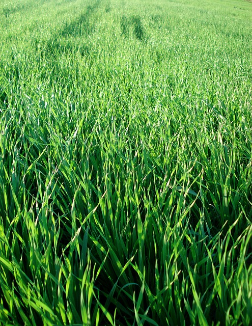 Free field grass wheat greens green plants floral