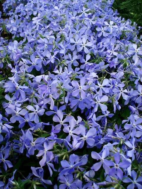 Free flowers spring flowers blue flowers purple flowers