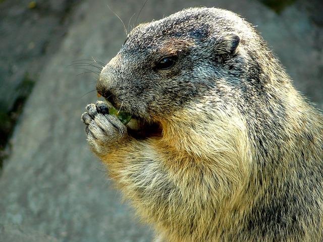 Free marmot alpine marmot animal rodent pets marmots