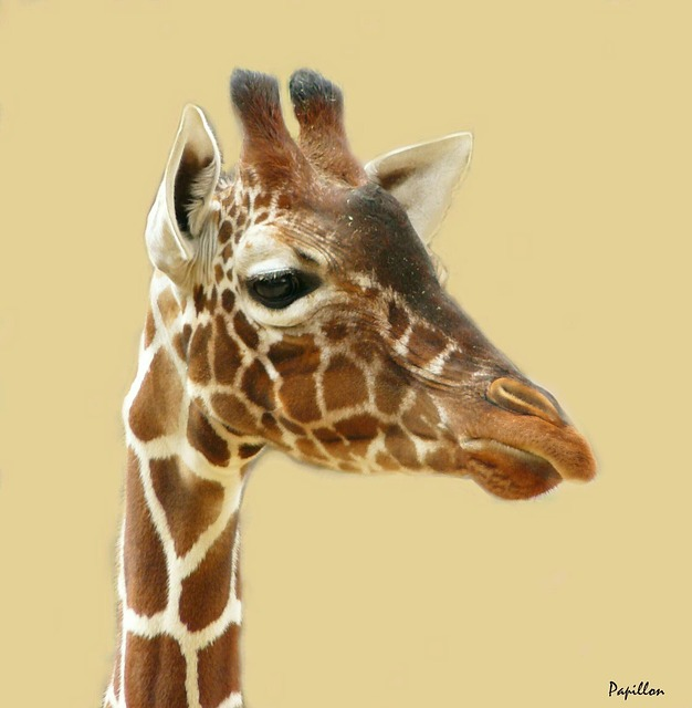 Free giraffe giraffes animal pets head mammal neck