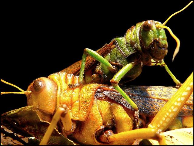 Free grasshoppers grasshopper insect close viridissima