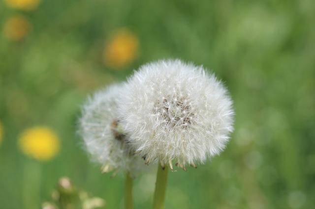 Free dandelion meadow common dandelion spring plant