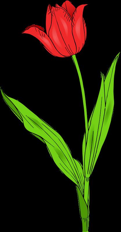 Free colored tulip