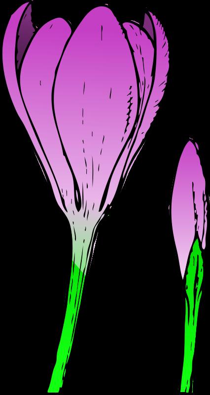 Free colored crocus 1
