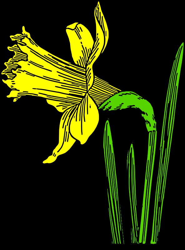 Free colored daffodil