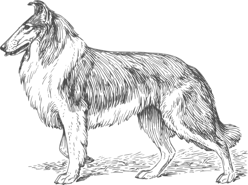 Free collie 2 grayscale
