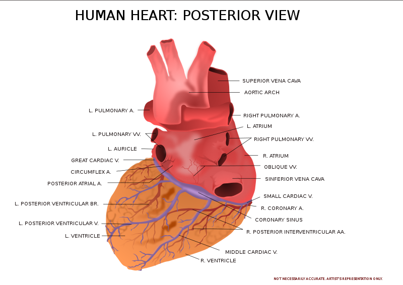 Free Human Heart Posterior View