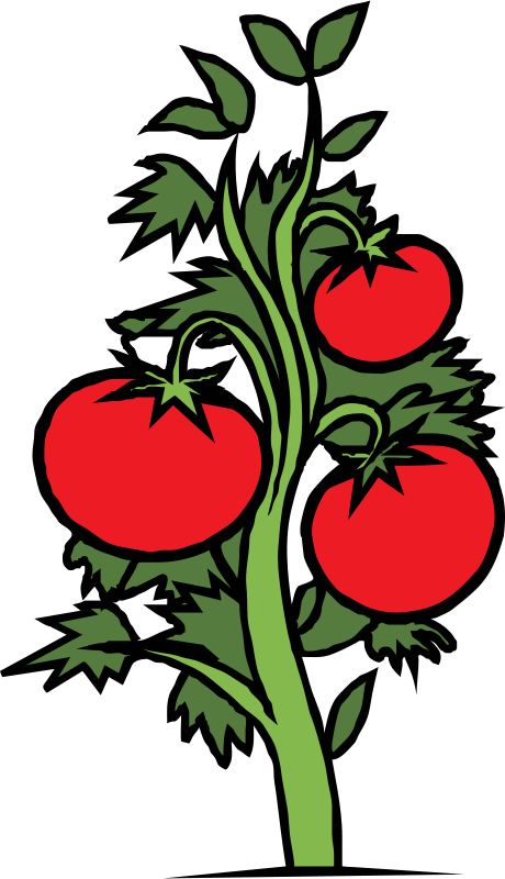 Free tomato plant