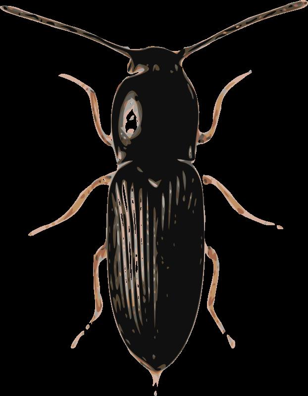 Free beetle (cardiophorus)