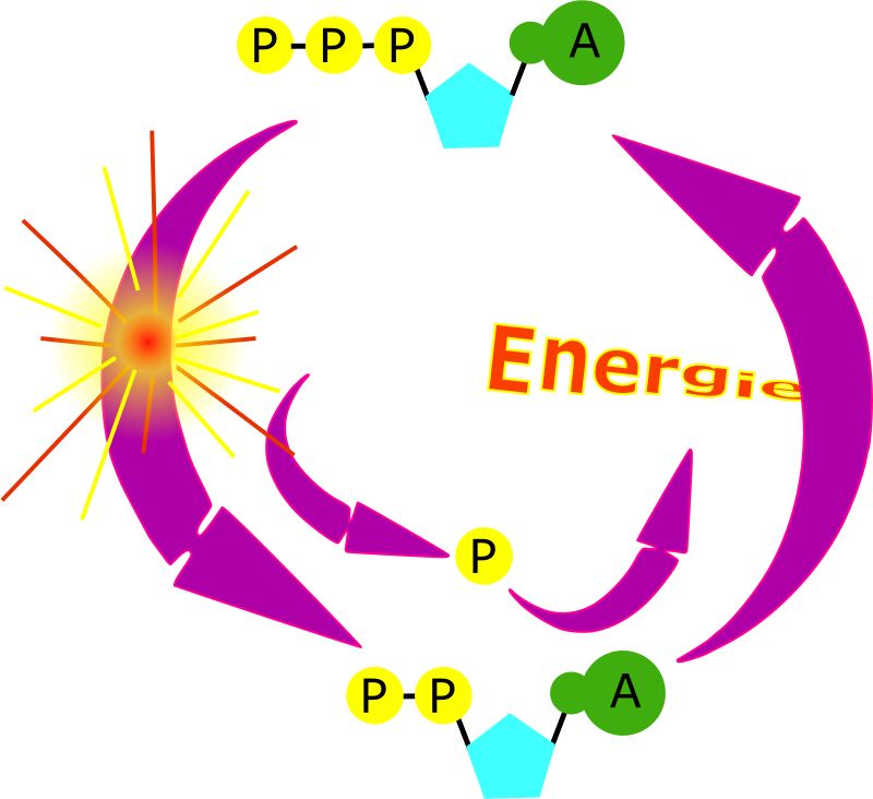Free cycle ATP