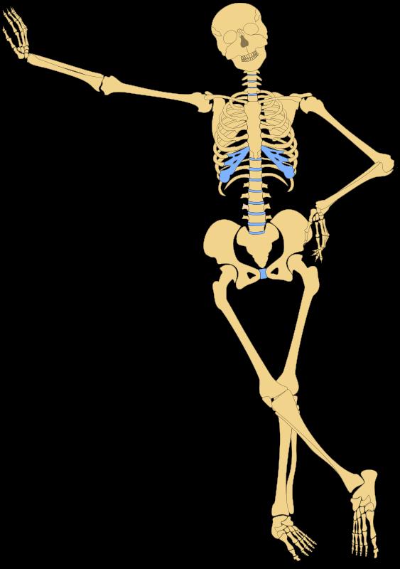 Free Human Skeleton(Outline)