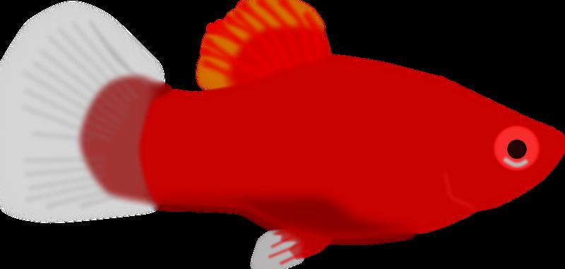 Free Aquarium fish - Xiphophorus maculatus