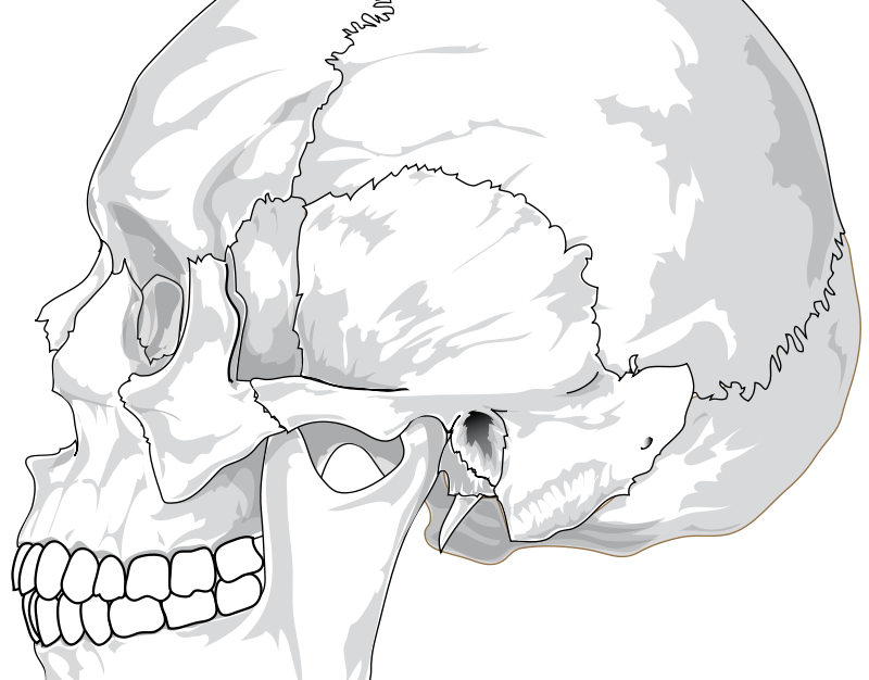 Free Human skull (side view)