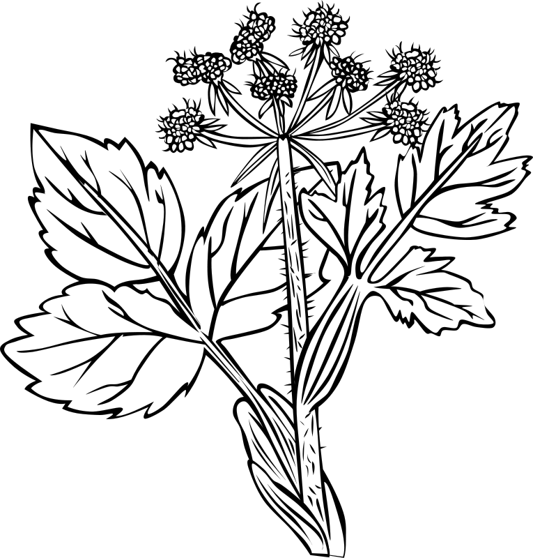 Free Heraculeum lanatum