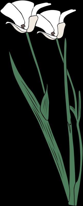 Free calochortus apiculatus
