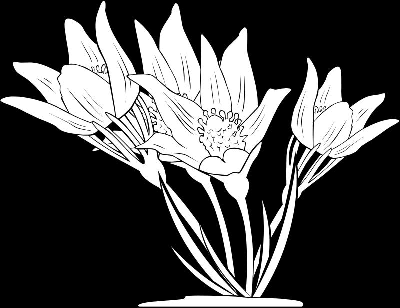 Free Anemone Patens