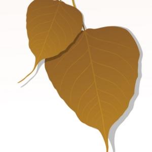 Free Close-up of Peepal Leaf