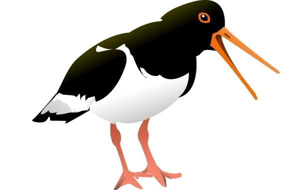 Free Oyster Catcher Bird clip art