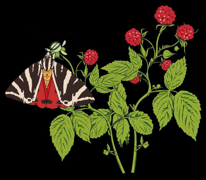 Free Papillon Ecaille chinee sur framboisier - Mottled Tortoiseshell butterfly on a Rapsberry