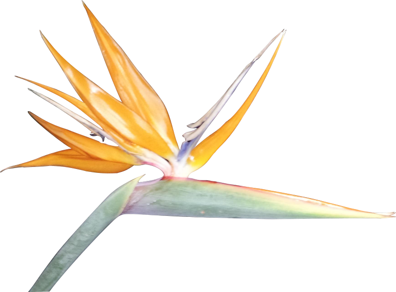 Free Bird of Paradise Silhouette