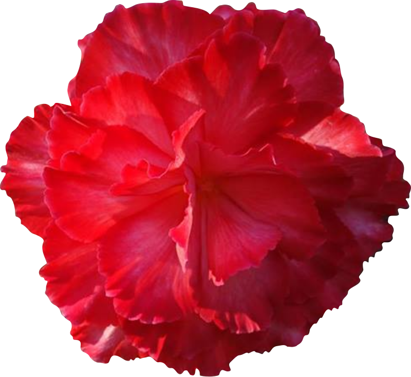 Free Big Pink Flower