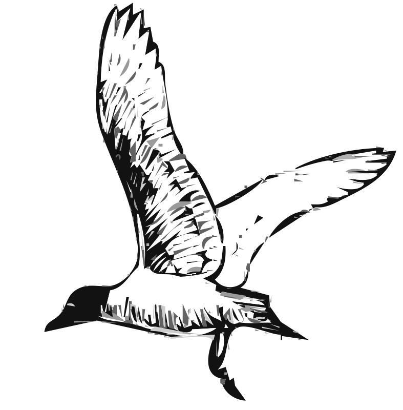 Free Franklins Gull Bird