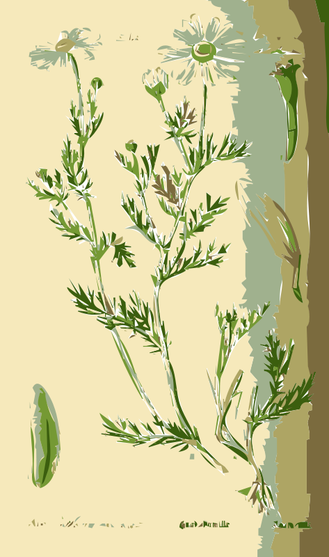Free Illustration of the Anthemis Flower