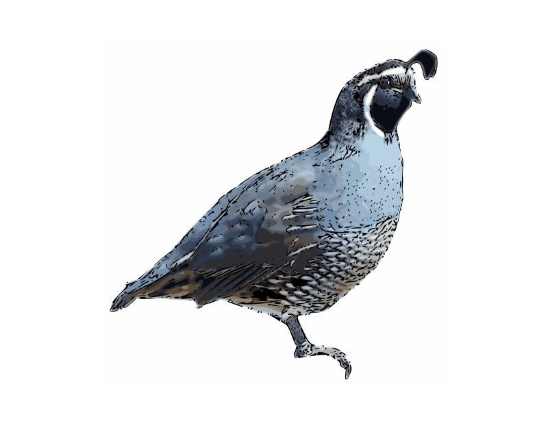 Free California Quail - pen-and-ink
