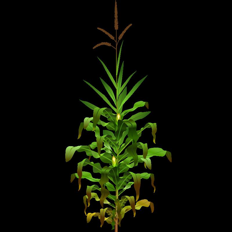 Free corn plant