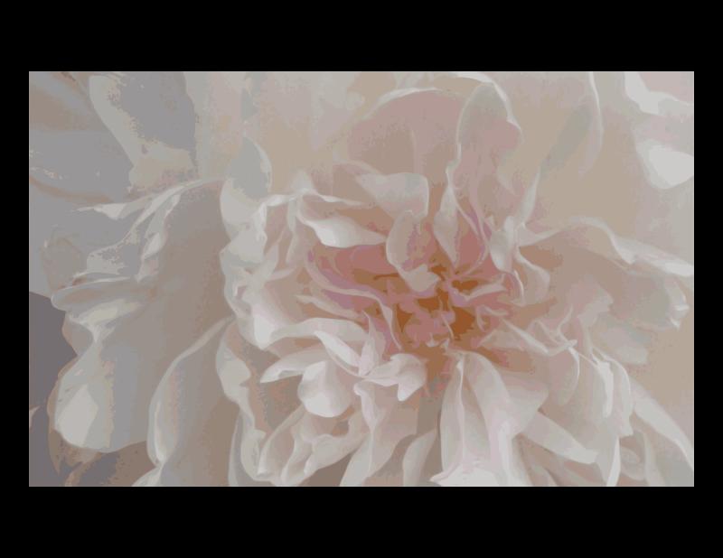 Free Pink Peony - closeup