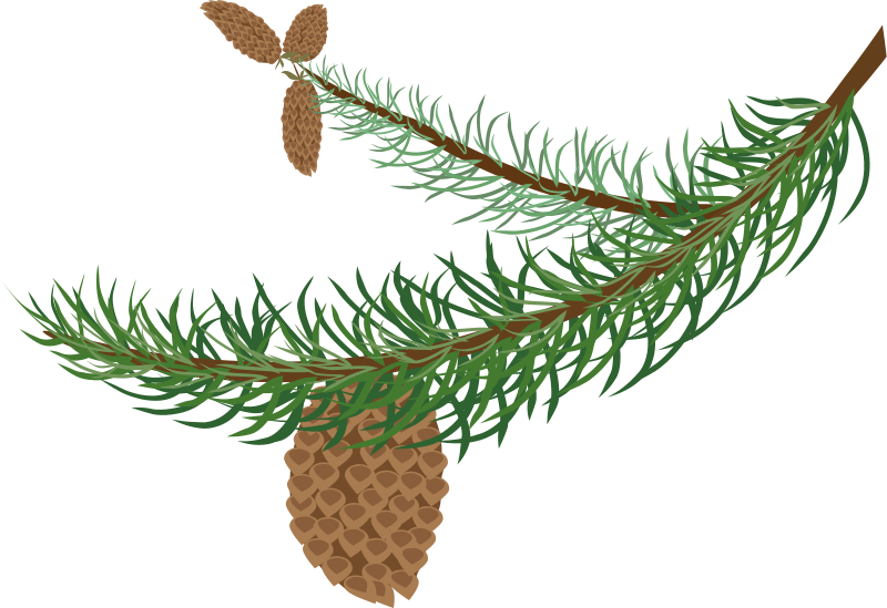Free fir branch with cones