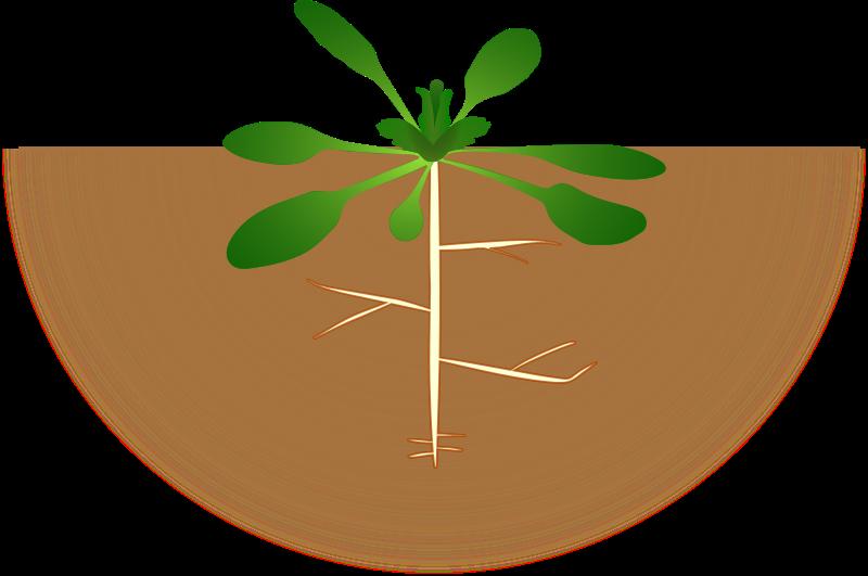 Free arabidopsis thaliana