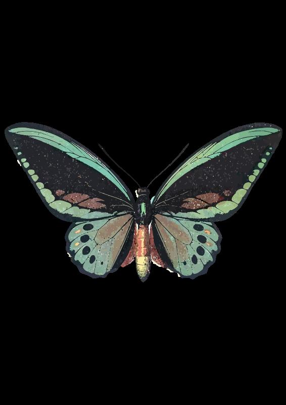 Free Ornithoptera priamus