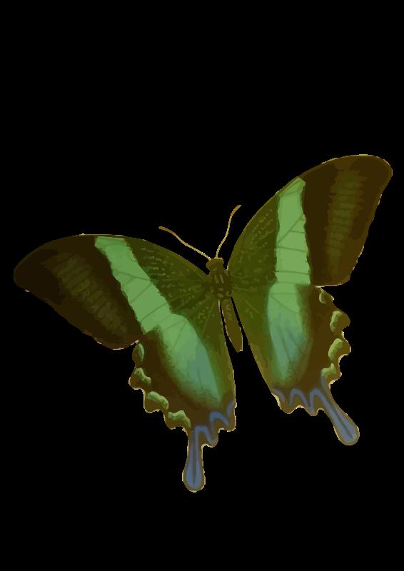 Free Papilio blumei