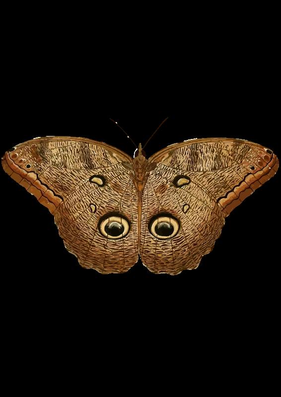 Free Caligo eurilochus