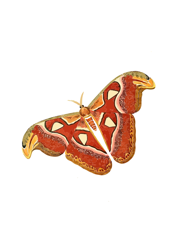 Free Atlas moth - Attacus atlas