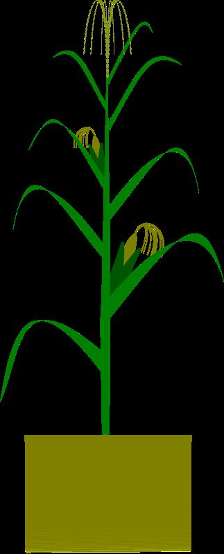 Free Maize plant