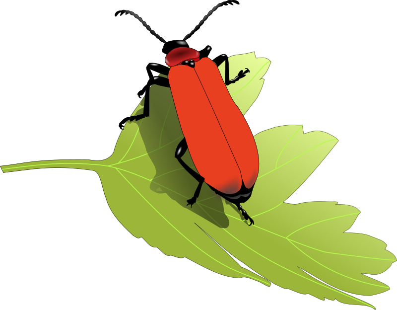 Free Cardinal beetle (Pyrochroa coccinea)