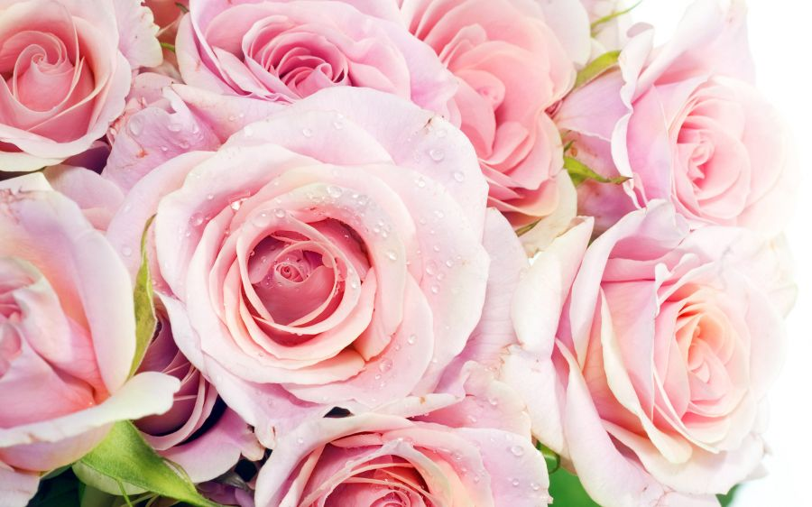 Free Wallpapers: Pink Roses | Nature