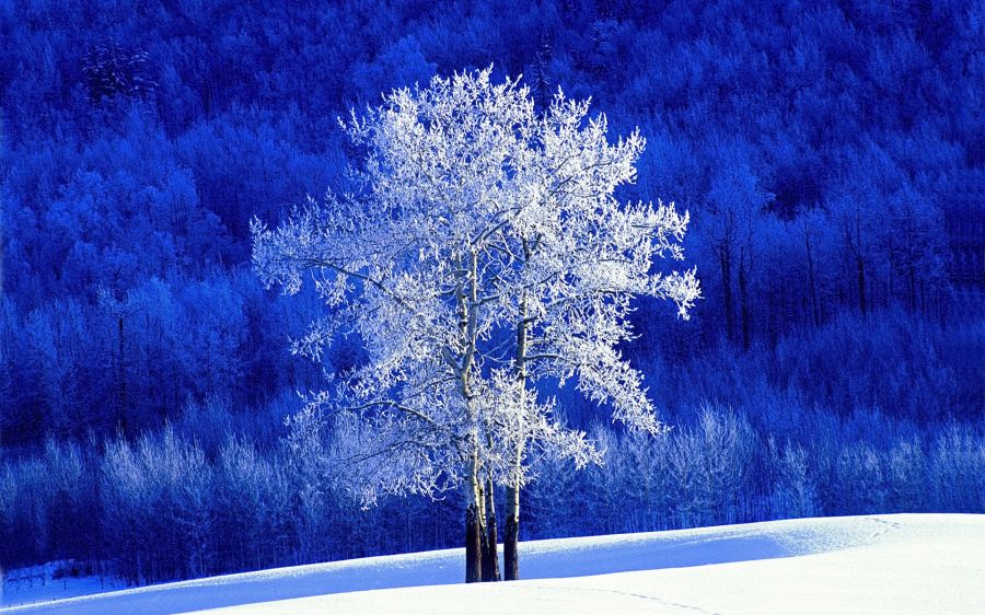 Free Wallpapers: Frosted Aspen Tree Wallpaper | Nature