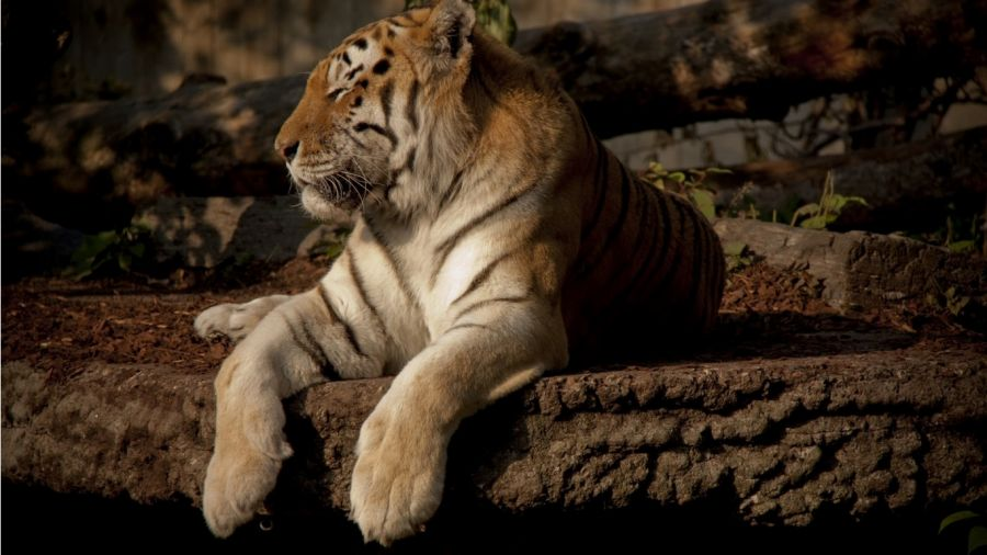 Free Wallpapers: Tiger Chilling Out   Animals