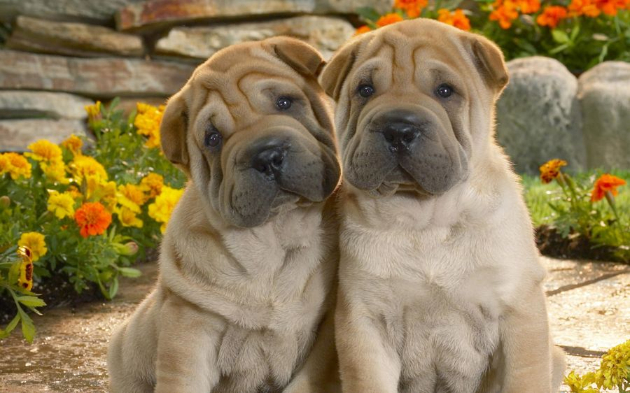 Free Wallpapers: Puppy Eyed Puppies | Animals
