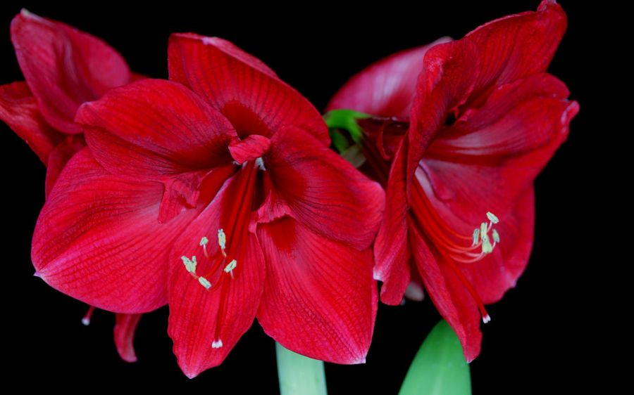 Free Wallpapers: Amaryllis Blossoms Wallpaper   Nature