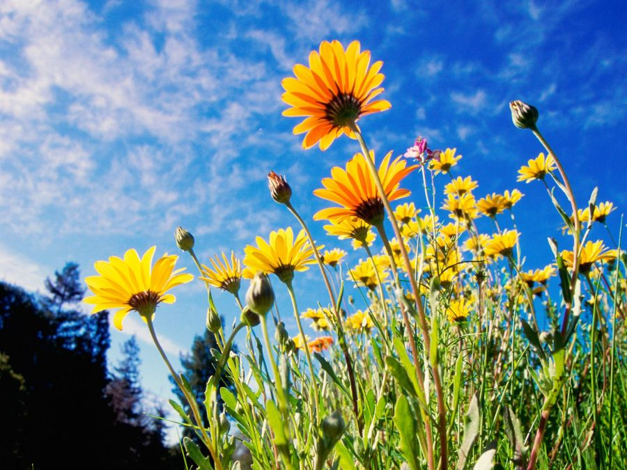 Free Wallpapers: African Daisies | Nature