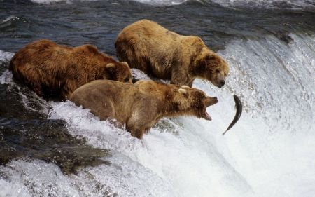 Free Brown Bears Hunting