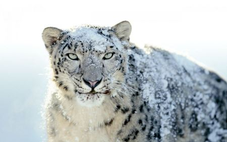 Free Snowy White Leopard