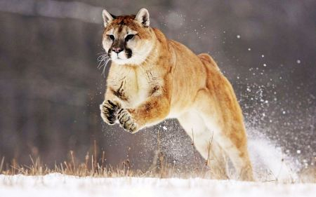 Free Leaping Mountain Lion