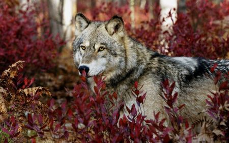 Free Gray Wolf in Red Bushes